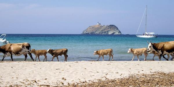 Des vaches circulant sur la plage de Rogliano, où navigue derrière un bateau.